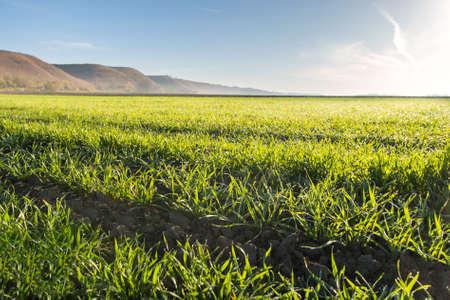 cebada: campo de trigo joven por la mañana Foto de archivo