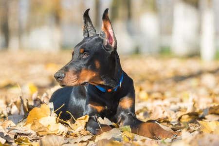 pinscher: Doberman Pinscher portrait in autumn Stock Photo