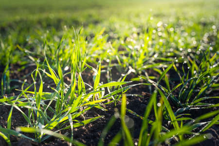 winter wheat: winter wheat field at early spring Stock Photo