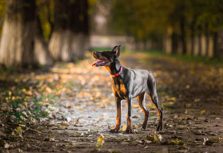 bitch: Portrait of a doberman pinscher puppy