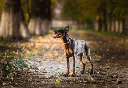 puta: Retrato de un cachorro de doberman pinscher Foto de archivo