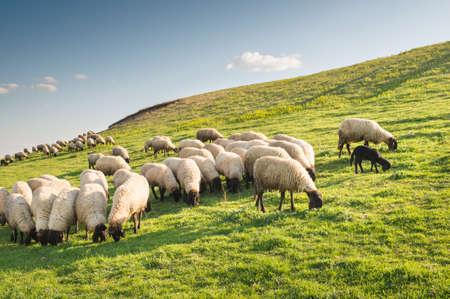 Stado wypasu owiec na wzgórzu o zachodzie słońca. Zdjęcie Seryjne