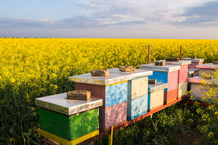 apiary: Apiary in the field of rapeseed
