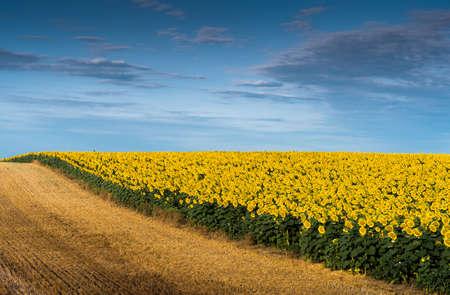girasol: campo de girasoles en flor sobre un fondo de cielo azul