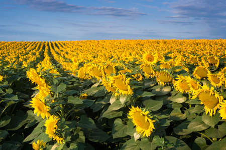 sunflower field: field of blooming sunflowers on a background of blue sky Stock Photo