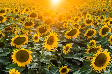 Sun flower: Landschaft mit Sonnenblumenfeld am Morgen Lizenzfreie Bilder
