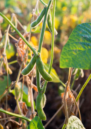 bean plant: Close up of the soy bean plant in the field Stock Photo