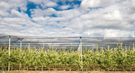 hail: Modern apple  orchard, with net against hail Stock Photo