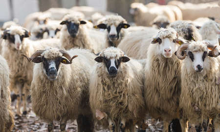 flock of sheep: Livestock farm, herd of sheep