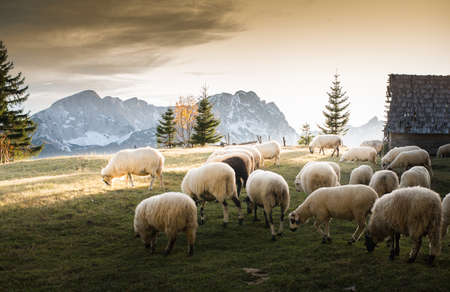 flock of sheep: Flock of sheep grazing in a hill at sunset.