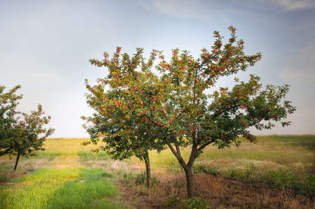 ripe: Ripening cherries on orchard tree
