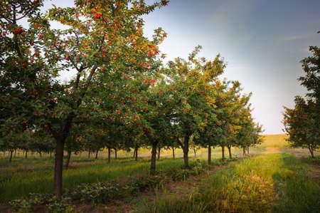 Ripening cherries on orchard tree