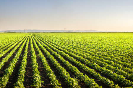 filming point of view: Soybean Field Rows in spring
