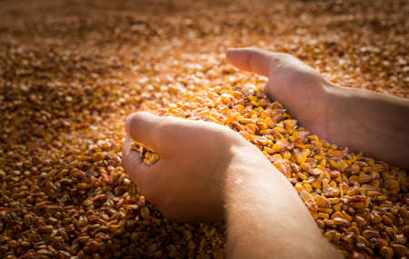 Man hands with grain corn