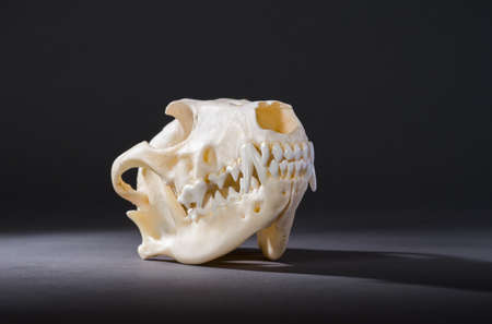 black fox: Isolated red fox skull on a black background Stock Photo