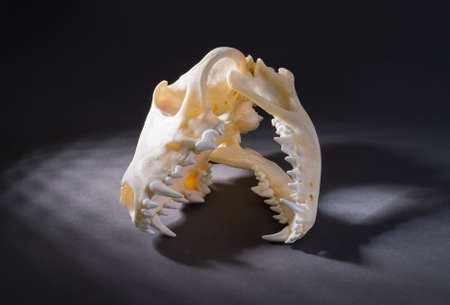 eye socket: Isolated red fox skull on a black background Stock Photo