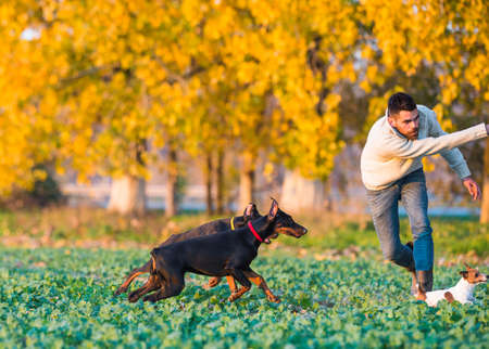 doberman pinscher: Doberman with owner in training Stock Photo