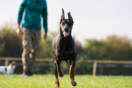 agility people: Doberman Pinscher with owner in training