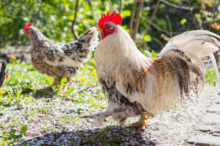 piebald: Rooster and hen on meadow