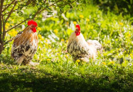 aves de corral: Gallo y gallina en la pradera Foto de archivo