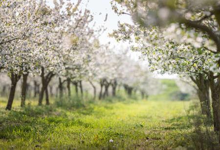 kersenboomgaard in volle bloei