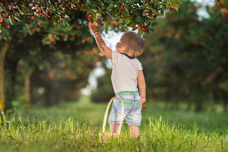 Boy picking cherry on a fruit farm. Foto de archivo