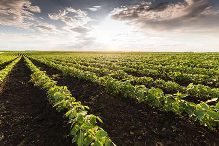 a crop: Soybean Field Rows in sunset