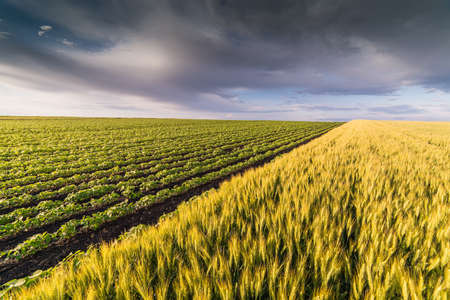 Ripe wheat at sunset. Landscape. Stock Photo