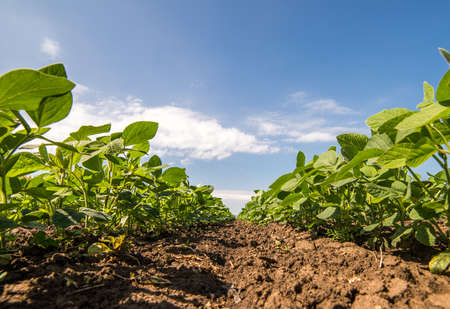 Soybean Field Rows close up Stock Photo