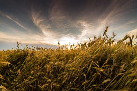 harvest field: field of wheat in sunset