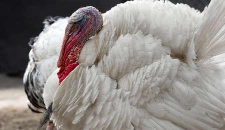 turkey cock: Turkey on a farm