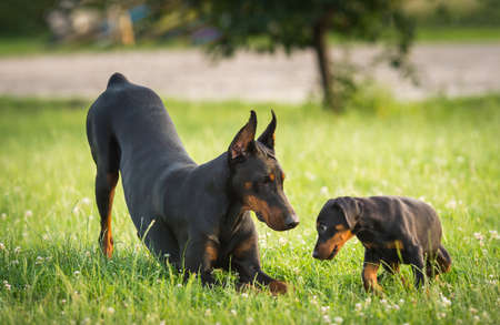 companions: Two black dobermans on the green grass
