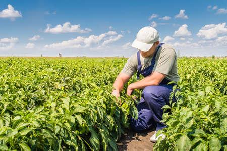 고추 필드에서 젊은 농부 스톡 콘텐츠