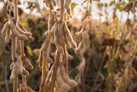 monoculture: Ripe soybeans ready for harvest Stock Photo