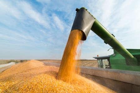 mazorca de maiz: Verter el grano de maíz en el remolque del tractor después de la cosecha Foto de archivo