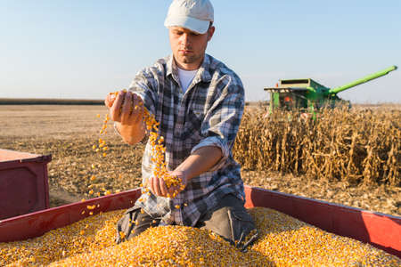 young farmer: Young farmer holding ripe corns during harvest