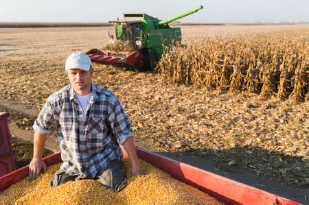 Young farmer holding ripe corns during harvest