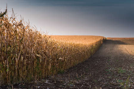 champ de mais: agricultural field with ripe corn Banque d'images