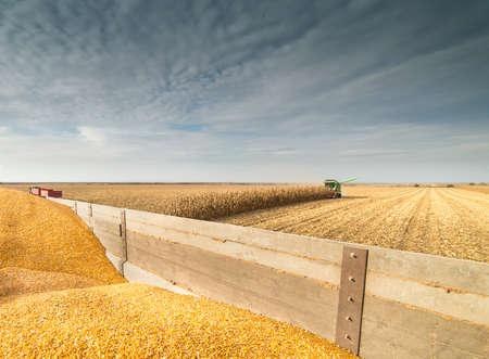 maschine: Corn in tractor trailer during harvest
