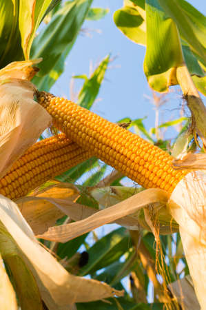 Corn on the stalk in the field Stock Photo