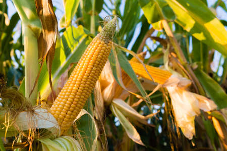 agro: Corn on the stalk in the field Stock Photo