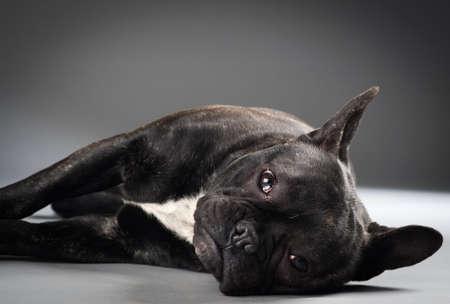 perros graciosos: Retrato del perro del dogo francés aislado en fondo gris