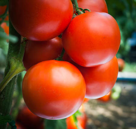 Ripe organic tomatoes in garden ready to harvest