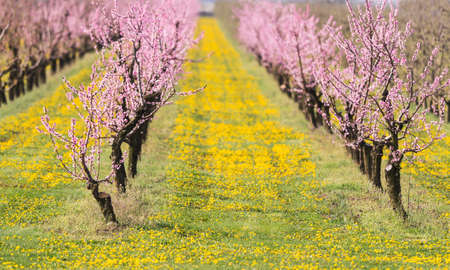 Blossoming flower peach orchard in spring time
