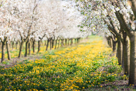 Blossoming flower apple orchard in spring time Stock Photo