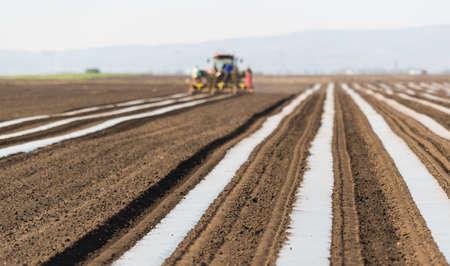 encurtidos: Preparación para el pepino, la siembra en el campo de las salmueras - poniendo papel de nylon en filas de modo planta puede brotar más fácil