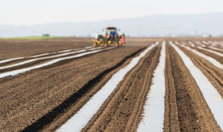 Preparation for cucumber, pickles planting at field - putting nylon foil in rows so plant can sprout easier