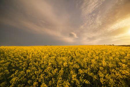 Campo amarillo de la violación de semilla oleaginosa bajo el cielo azul brillante con el sol