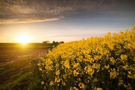 oilseed rape: Yellow oilseed rape field under the blue bright sky with sun