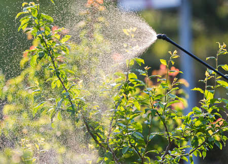 fungicide: Gardener applying an insecticide fertilizer to his fruit shrubs, using a sprayer